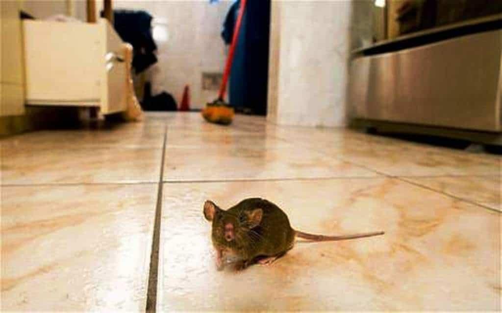 topi in casa