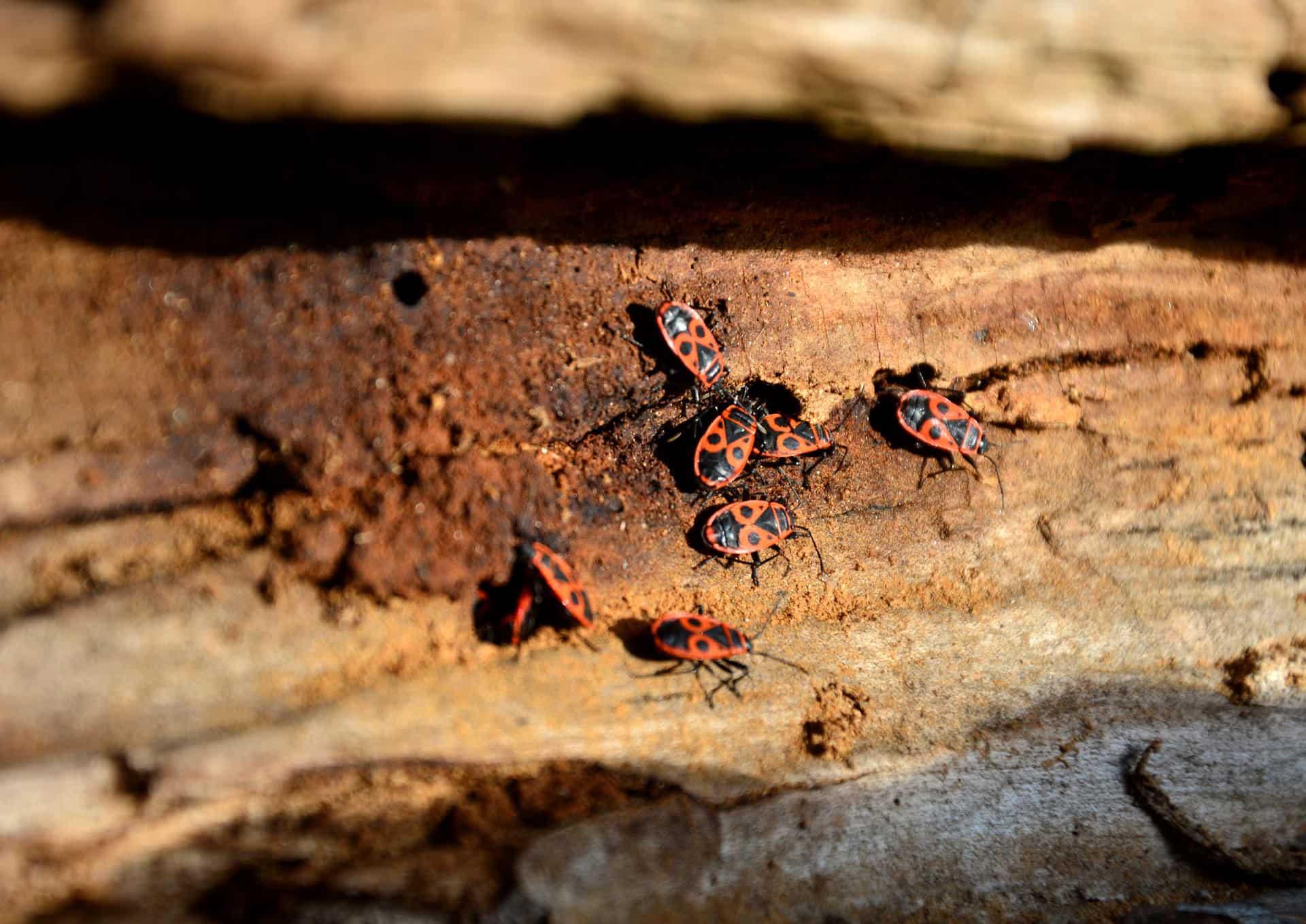 parassiti del legno