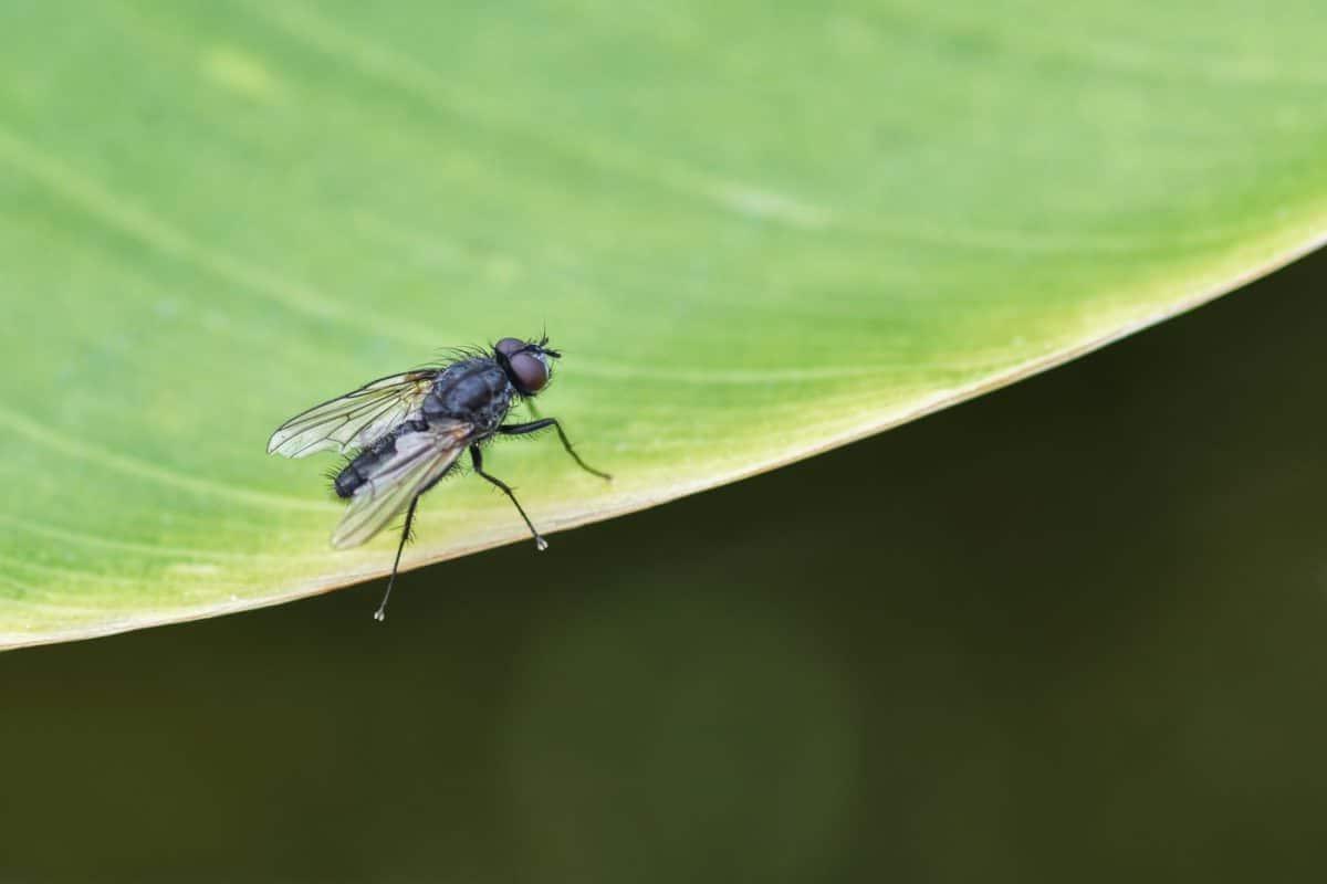 eliminare mosche